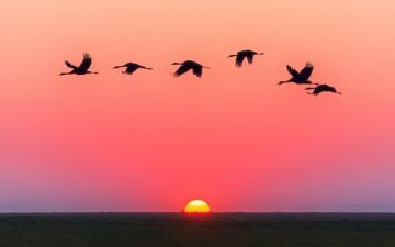 Geese Flying, sun setting